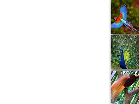 Шаблон для презентаций о птицах